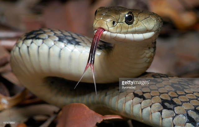 Snake bites woman's private part in Volta Region