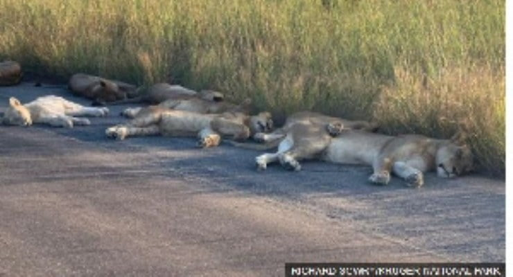 Coronavirus Lions nap on road during South African lockdown